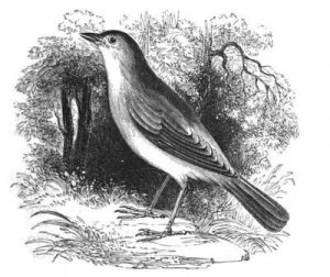 Nightingale (as Philomela luscinia Linn.)